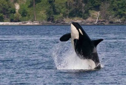 San Juan Island Whale & Wildlife Tours and Water Taxi